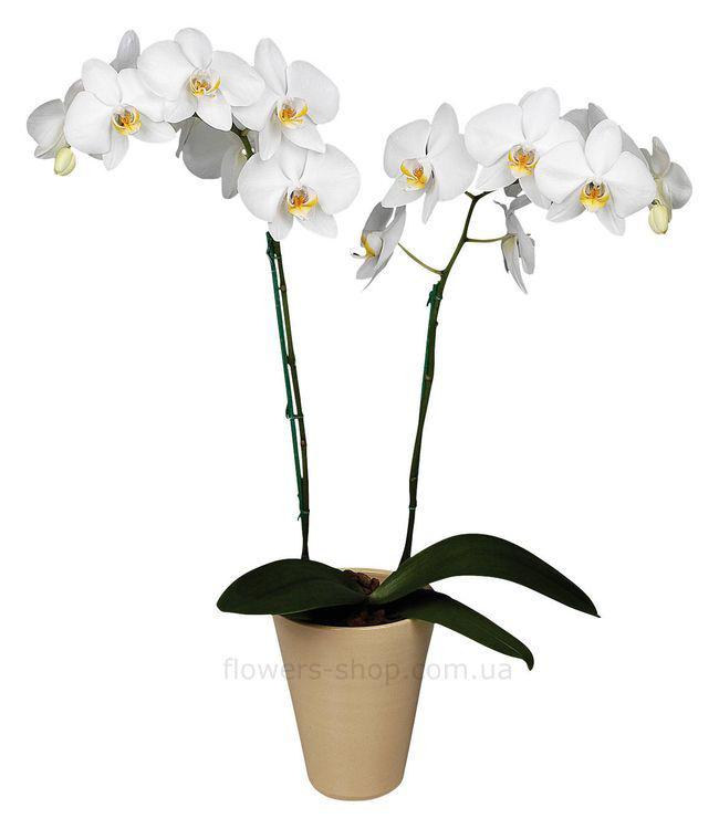 Подарите мне орхидею
