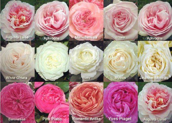 Сорта пионовидная роза
