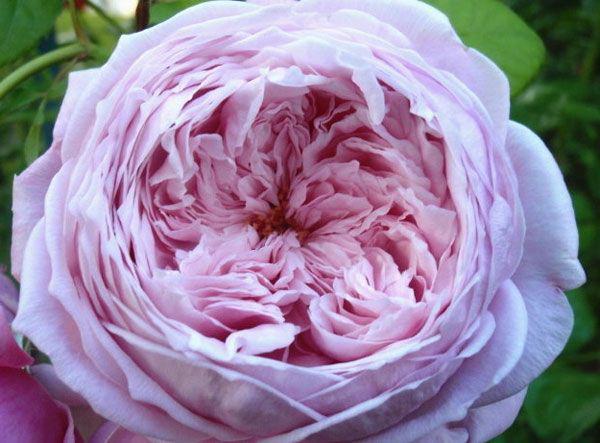 Пионовидные розы фото