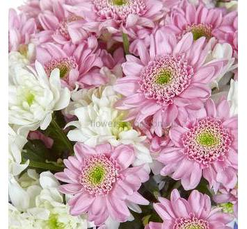 Бело-розовые хризантемы