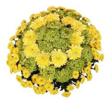 Букет из желтых и зеленых хризантем