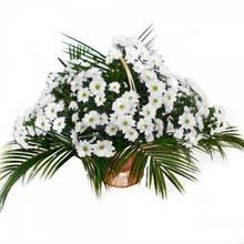 Корзина с ромашковыми хризантемами и фениксом