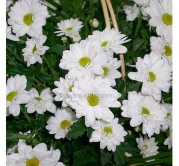Белые ромашковые хризантемы